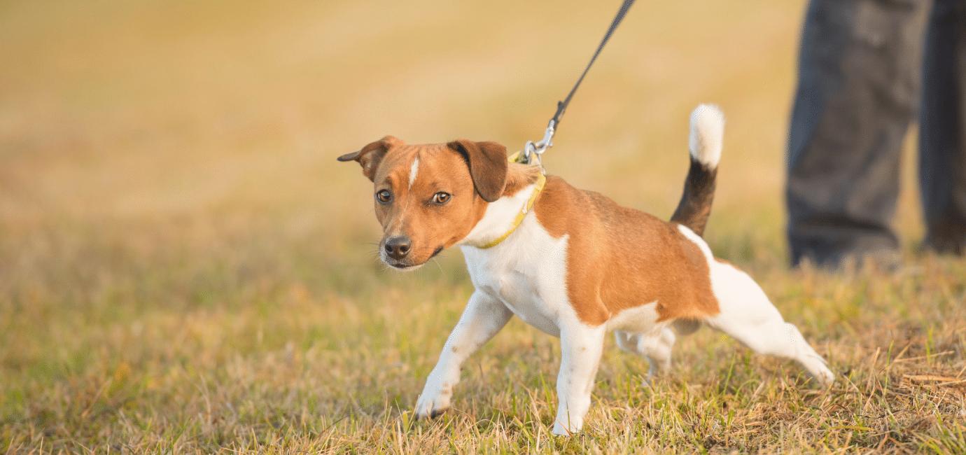 Flexiliner lærer din hund at trække dogsrus.dk
