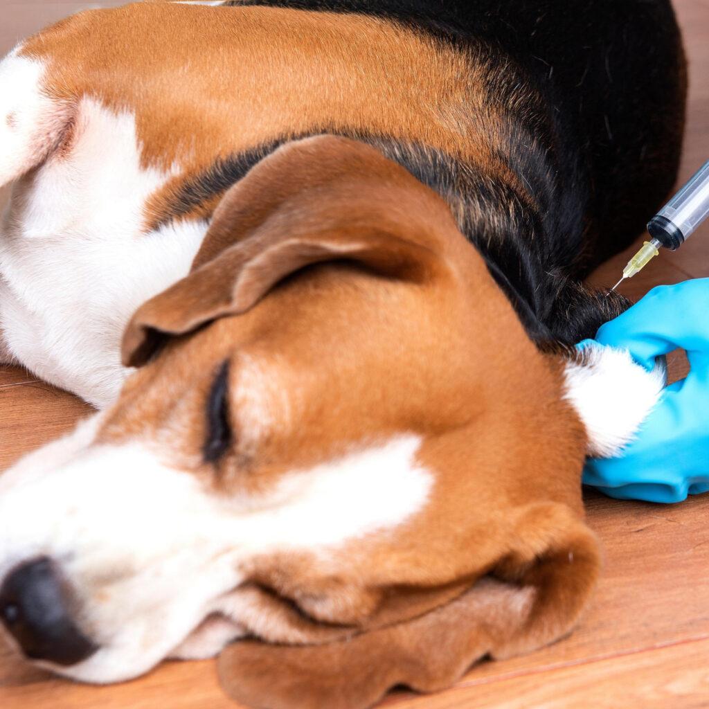 vaccinatio hund beagle dogsrus.dk